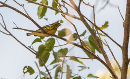 A Magnolia Warbler on a branch Stock Photos