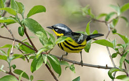Magnolia Warbler Royalty Free Stock Photo