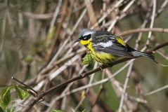 Magnolia warbler (Dendroica magnolia) Royalty Free Stock Images