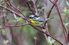 Magnolia Warbler Dendroica Magnolia. A beautiful yellow,black,white and gray bird perching on red osier dogwood during spring migration Royalty Free Stock Photos