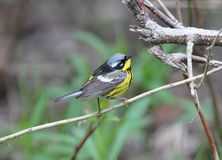 Magnolia Warbler, Dendroica Magnolia Royalty Free Stock Photo