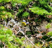 Magnolia Warbler Stock Images