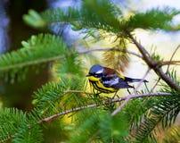 Magnolia Warbler Stock Photography