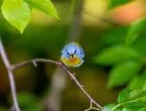 Magnolia Warbler Stock Photos