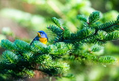 Magnolia Warbler Royalty Free Stock Photography
