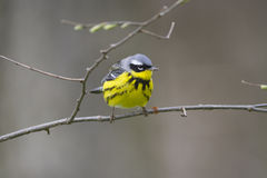 A Magnolia warbler perched on a branch in early spring. Royalty Free Stock Photos