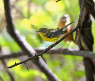 Magnolia Warbler Stock Photography