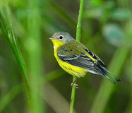 Magnolia Warbler Royalty Free Stock Images