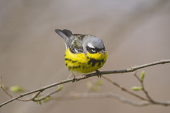 Magnolia warbler sitting on a tree branch during the annual spring bird migration Stock Photos