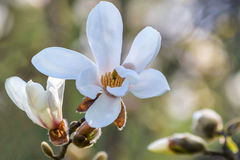 Magnolia. White Magnolia in a beautiful day of spring stock image