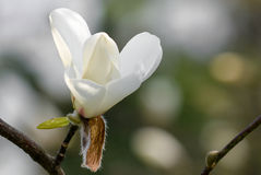 Magnolia. White Magnolia in a beautiful day of spring royalty free stock photos