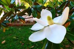 Magnolia white blossom tree flowers, close up. Shot royalty free stock photos