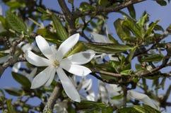 Magnolia. White magnolia flower in spring time Stock Photo
