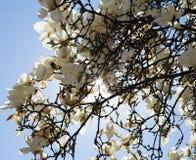 Magnolia with white flowers Royalty Free Stock Photos