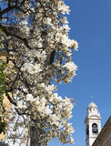 Magnolia with white flowers Stock Photos