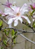 Magnolia white-pink flowers Royalty Free Stock Photos