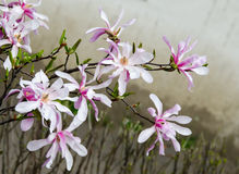 Magnolia white-pink flowers Royalty Free Stock Image
