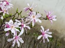 Magnolia white-pink flowers Royalty Free Stock Image