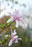Magnolia white-pink flowers Stock Photos