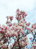 Magnolia white-pink flowers Royalty Free Stock Photography