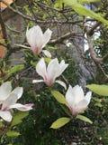 Magnolia. White magnolia tree Royalty Free Stock Image