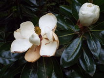 Magnolia. White Magnolia Tree, Large white blooms in late spring or early summer royalty free stock photos