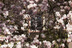 Magnolia_window-1 Photographie stock libre de droits