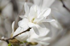 Magnolia witte bloemen stock foto's