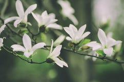 Magnolia witte bloemen stock afbeelding