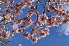 Magnolia x soulangeana Alexandrina Royalty Free Stock Images
