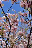 Magnolia x soulangeana Alexandrina Stock Image