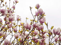 Magnolia x soulangeanatakken met gevoelige roze bloemen Royalty-vrije Stock Afbeelding