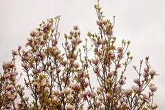 Magnolia x soulangeanatakken met gevoelige roze bloemen in SP Royalty-vrije Stock Foto's