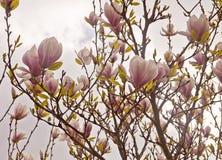Magnolia x soulangeanatakken met gevoelige roze bloemen in SP Stock Afbeelding