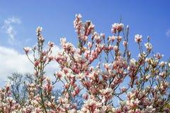 Magnolia y cielo nublado azul fresco de la primavera Foto de archivo