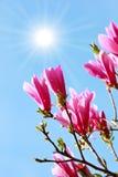 Magnolia y sol Imagen de archivo libre de regalías