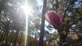 Magnoliabloei Royalty-vrije Stock Afbeeldingen