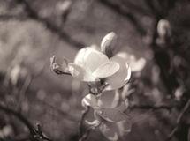 Magnoliabloem. Stock Afbeeldingen
