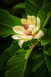 Magnoliabloem royalty-vrije stock afbeelding