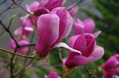Magnoliabloem Royalty-vrije Stock Afbeeldingen