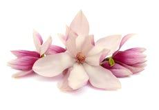 Magnoliabloemen Stock Afbeeldingen