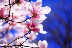 Magnoliabloemen in de lente met blauwe hemelachtergrond en met knop royalty-vrije stock foto