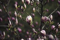Magnoliabloemen in een de lentetuin op een zonnige dag royalty-vrije stock foto