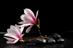 Magnoliabloemen en zen stenen Stock Foto's