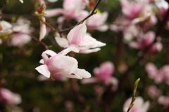Magnoliabloemen op een tak in de vroege lente royalty-vrije stock foto