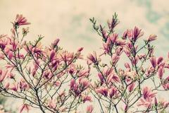 Magnoliabloemen tegen een Bewolkte Blauwe Retro Hemel - stock afbeeldingen