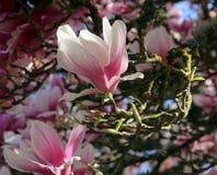 Magnoliabloesem royalty-vrije stock afbeelding