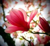 Magnoliabloesem stock foto's