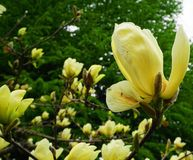 Magnoliabloesem Mooie gele bloeiende magnolia dicht omhoog De Chinese Gele Rivier 'Fei Huang 'van Magnoliadenudata met grote deli royalty-vrije stock foto