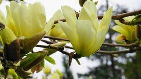 Magnoliabloesem Mooie gele bloeiende magnolia dicht omhoog De Chinese Gele Rivier ?Fei Huang ?van Magnoliadenudata met grote deli stock afbeelding